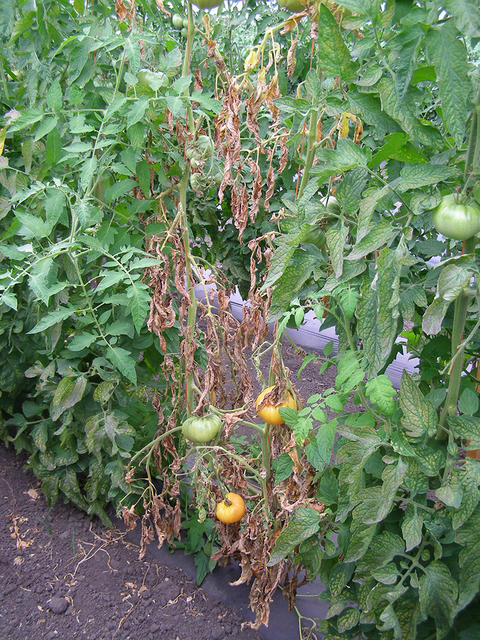 A row of tomato plants. One in the middle has a few fruit, but plant is smaller than others.  It has wilted and almost all leaves are brown.