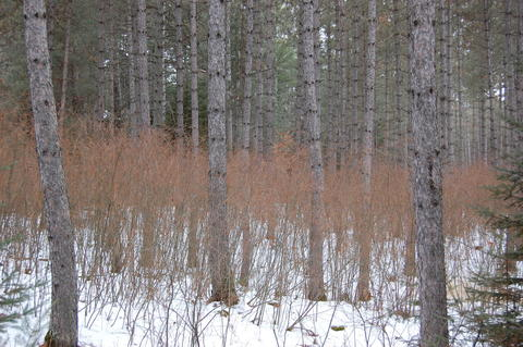 Hazel shrubs growing beneath a thinned stand of red pine during the winter; snow on the ground