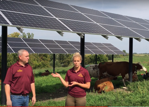 Brad Heins and student with cows under solar panels
