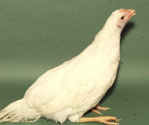 Adult chicken with ILT extending its neck to breathe