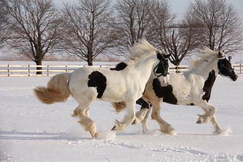 Two Gypsy Vanner horses that are cream and white with flowing manes and tales running through snow