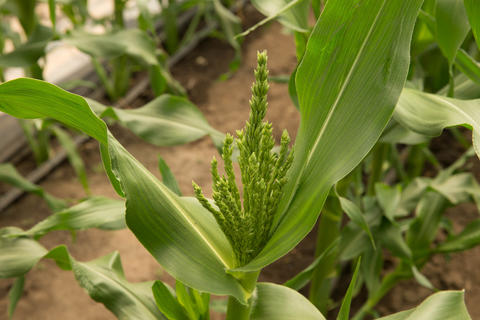 Green tassel emerging from top of green corn plant