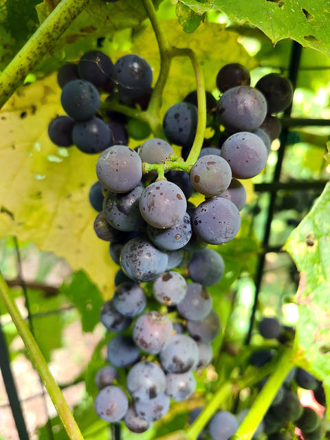 Hanging cluster of dark purple grapes surrounded by light green grape leaves.