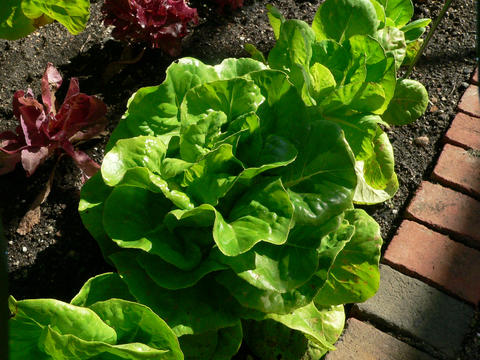Green lettuce plant growing in garden.