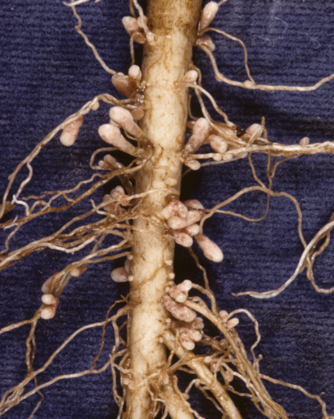 Well-nodulated roots