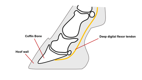 Lower leg and hoof anatomy