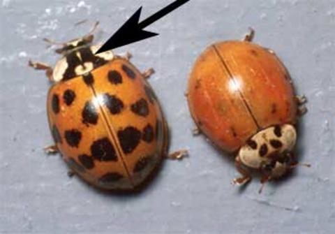 Two orangish beetles; one with several black spots on its wing covers and one without. Both have a black M-shaped marking behind its head.