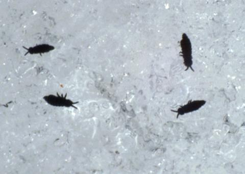 Four black-colored flea-like insects on snow