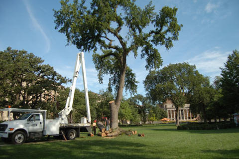 Arborist with special truck sawing tree on the University of Minnesota mall.