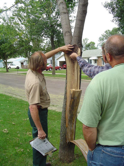 Arborist doing a tree consult on a tree that has bark removed.
