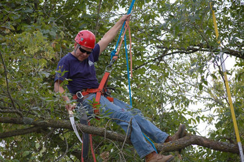 A man in hard hat and harness saws a tree branch in a tree.
