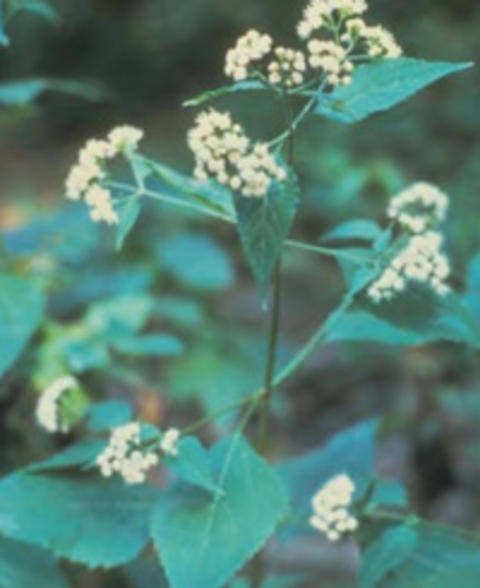 Mature white snakeroot plant