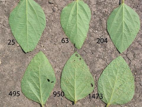 six leaves laying on soil with a label of the approximate number of aphids on each leaf.