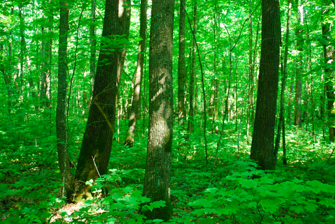 Stand of northern hardwood forest