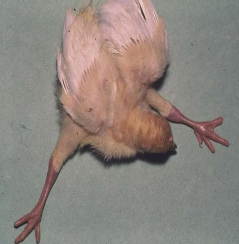 Turkey poult that can't walk due to osteomalacia
