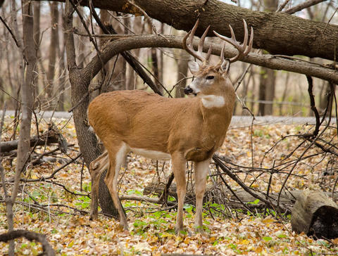 White-tailed deer in the woods.