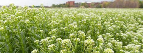 Field of Pennycress