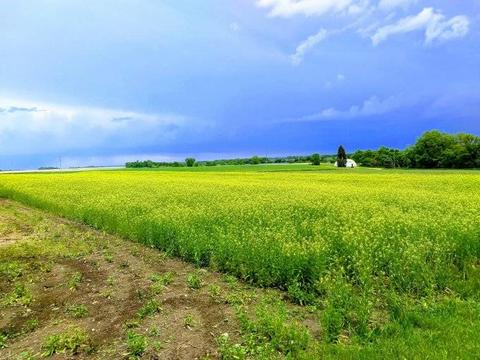 Stormy sky over a green field of winter camelina