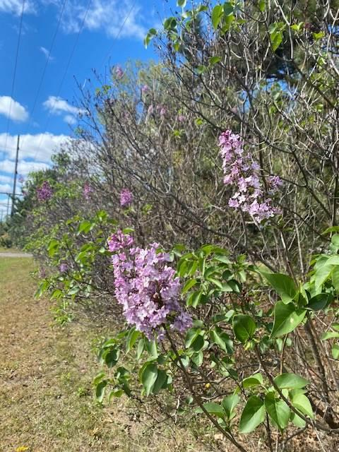 Hedge of lilacs in fall with a few random purple flowers blooming.