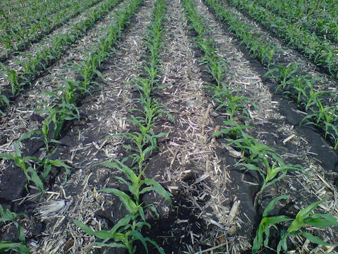 rows of young corn plants in a strip-tilled continuous corn field