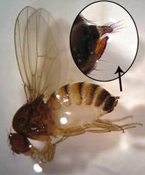 Female spotted wing drosophila fly with close-up view of the ovipositor with serrated edge.