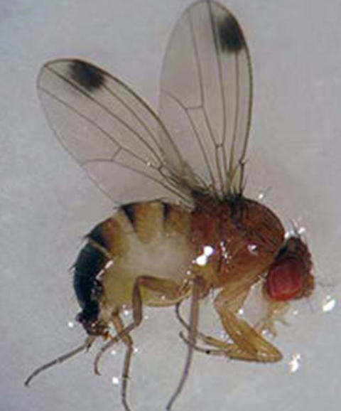 Fruit fly with one black dot on the end of each wing, suspended in glossy fluid.