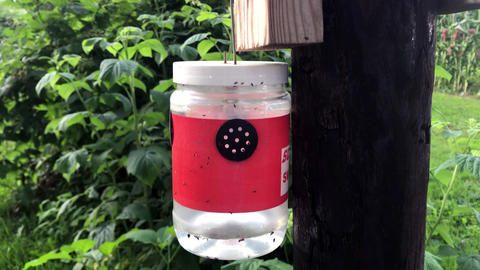 Container to trap fruit flies attached to a pole in a raspberry patch.