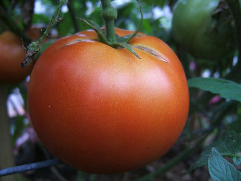 Closeup of a large beef tomato