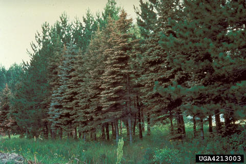 Row of trees affected by spruce needle rust