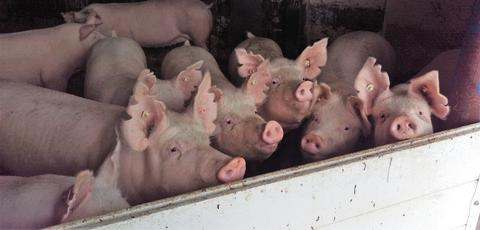 Sows looking out of a housing system