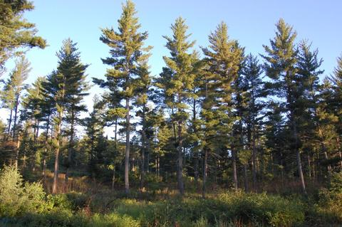 White pine stand after thinning