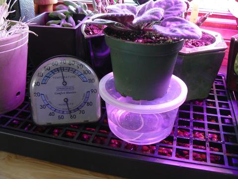 A plant on a clear plastic reservoir next to a humidity gauge sitting on a black tray with a grid and filled with brown pebbles and water.