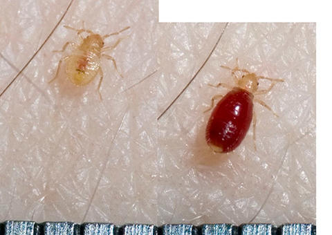 side by side images of a bed bug before and after a blood meal