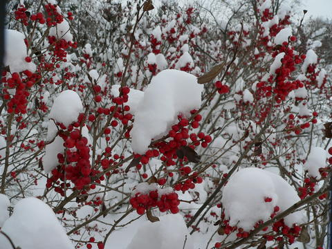 Red fruit of 'Afterglow' winterberry on branches covered with snow in winter