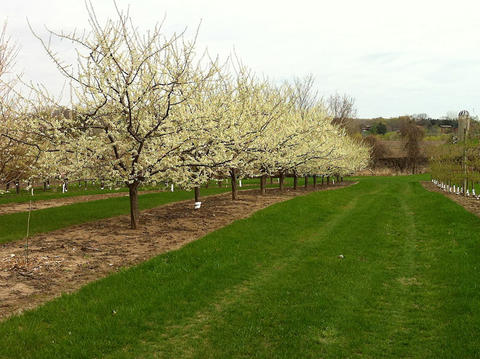 rows of flowering trees with grass lawns in between the rows