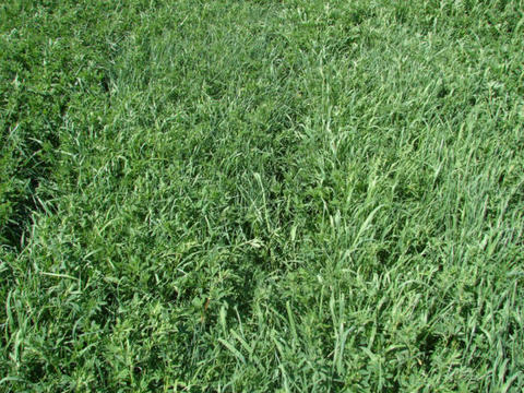 field with a mix of alfalfa and grass