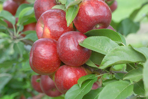 cluster of red apples on a tree surrounded by leaves