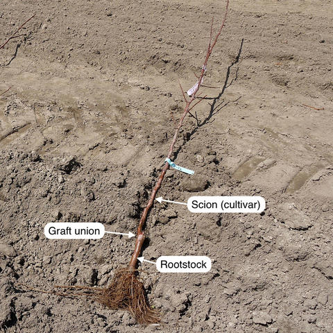 apple tree showing rootstock and scion and the bulge called the graft union where the two plants join together