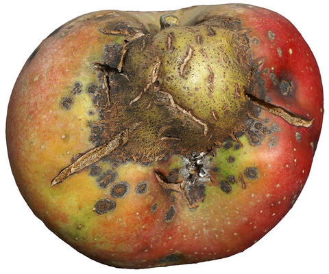bumps, brown spots and cracks on one side of an apple