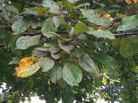 leaves on a tree with yellow and brown spots and discoloration