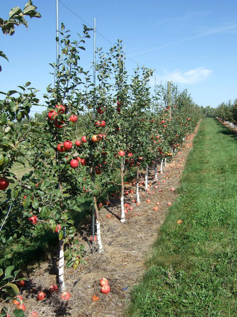 row of young apple trees with apples on them and white wrapping around the lower trunks of the trees
