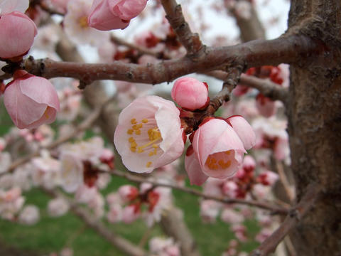 pink flowers with yellow centers on branches of a tree