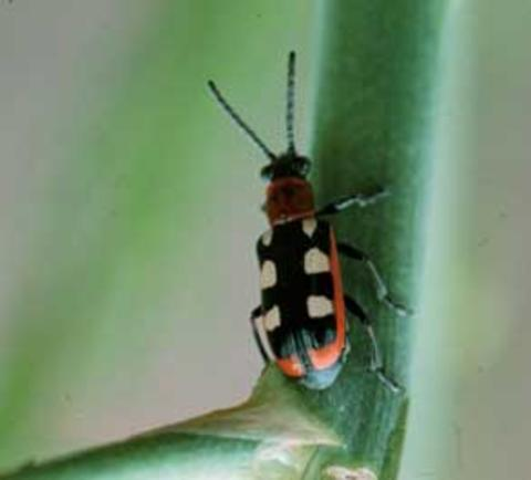 Common asparagus beetle with 6 cream-colored spots crawling on stem