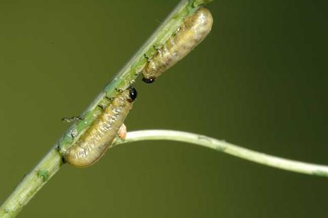Two asparagus beetle larvae on a stem, each with head and legs visible