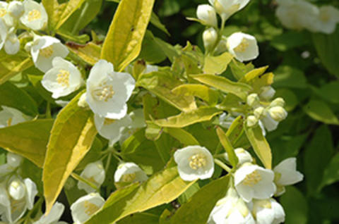 Yellow-green leaves and white, four-petaled flowers of golden mockorange