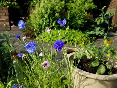 Blue and pink bachelor button flowers (Centaurea cyanus) in a home garden with potted cherry tomato in background.