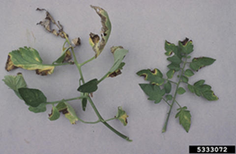 Tomato leaves on grey back ground, edges of leaf turn brown, with a yellow border
