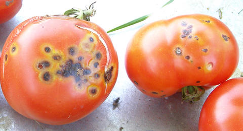 Tomato fruit infected with bacterial spot
