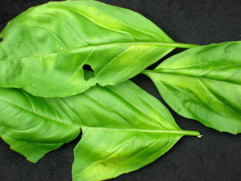 Basil leaves with holes from basil downy mildew