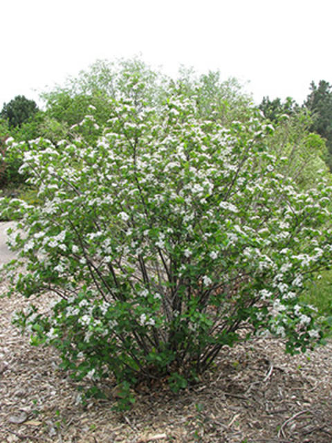 Black chokecherry shrub with white flowers and green leaves